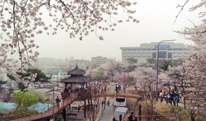 Spring Special: Cherry Blossom 1 Day Tour (Seoul ↔ Vicinities, Apr 1~15)