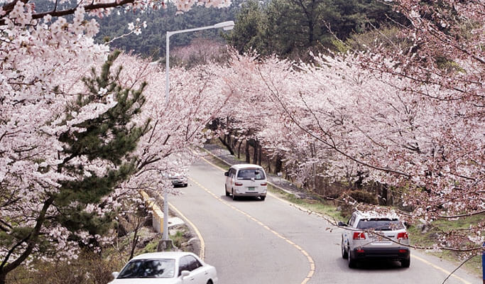 Spring Special: Busan Cherry Blossom 1 Day Tour (Mar 25~Apr 2)