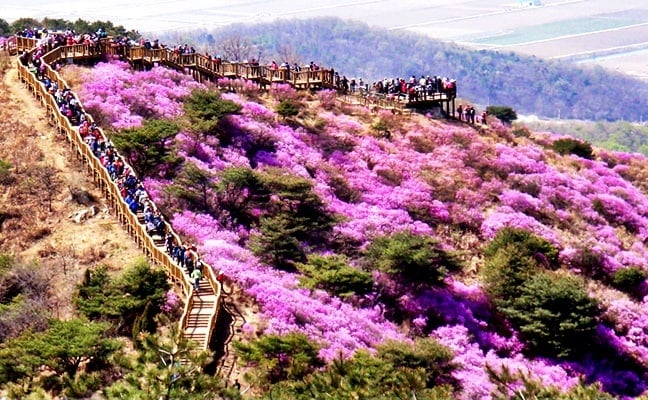 Spring Special: Goryeosan Mountain Azalea Festival 2017 Shuttle Bus Package (Apr 15~29)