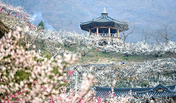Spring Special: Gwangyang Maehwa (Plum Blossom) 2017 & Ssanggyesa Temple 1 Day Tour (Mar 11~19)