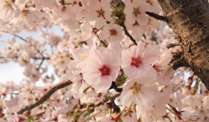 Spring Special: Gyeongju Cherry Blossom Festival 2019 1 Day Tour - from  Seoul (Apr 1~5)
