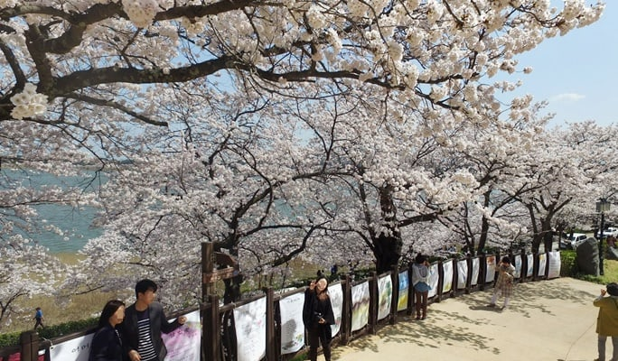 Spring Special: Gyeongpo (East Sea) Cherry Blossom 2017 Shuttle Bus Package (Apr 8~23)