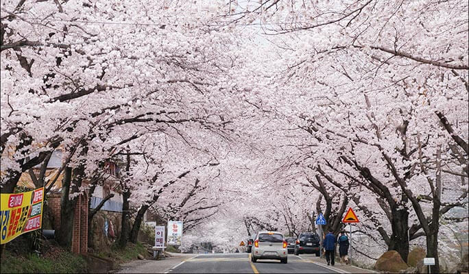 Spring Special: Hwagae Cherry Blossom Festival 2017 & Ssanggyesa Temple Shuttle Bus Package (Mar 29~Apr 7)