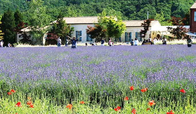Goseong Lavender Farm & Seoraksan Mountain / Sokcho 1 Day Tour (Jun 10~22)