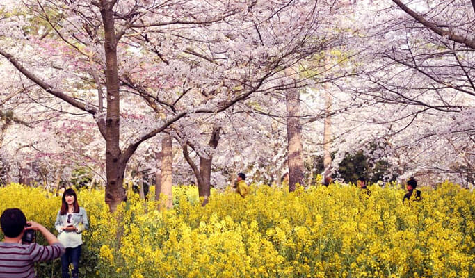 Spring Special: Jeju Island Spring Flower Tour - Private Taxi Tour