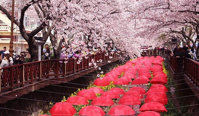 Jinhae Cherry Blossom Festival 1 Day Tour - from Busan (Apr 1~10)