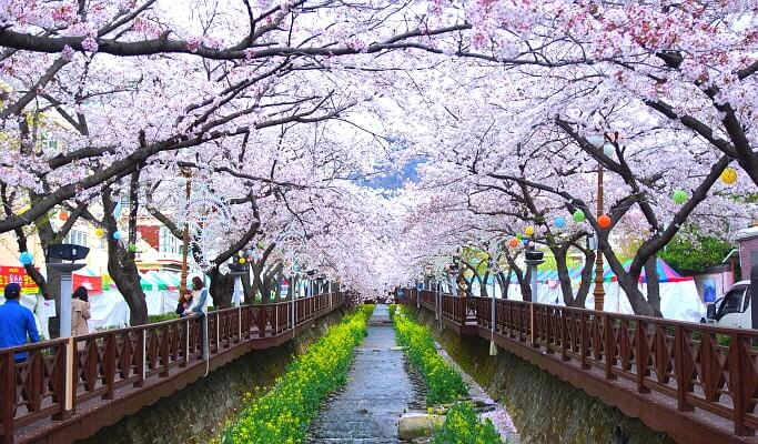 Jinhae Cherry Blossom Festival 1 Day Evening Tour- from Busan (Mar 29~Apr 10)