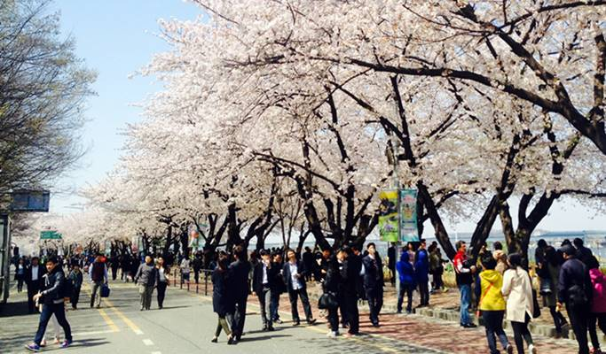 Spring Special: Seoul Yeouido Cherry Blossom Walking Tour (+63 Square/Han River Cruise/Apr 9~15)