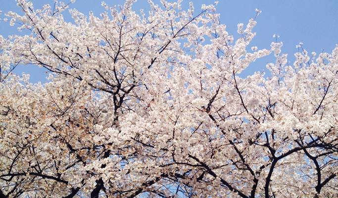 Spring Special: Seoul Yeouido Cherry Blossom Walking Tour (+Han River Cruise/63 Square)