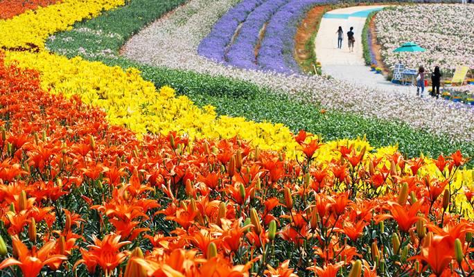 Hasil gambar untuk lily taean festival