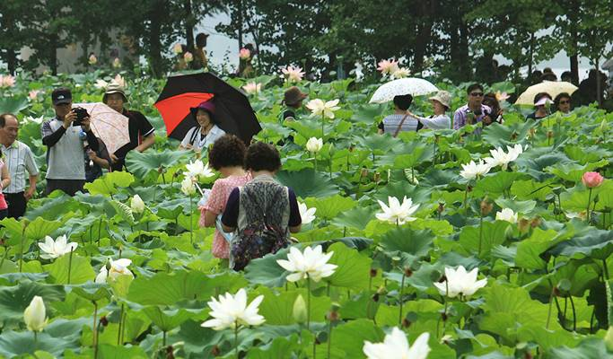 Summer Special: Yangpyeong Lotus Flower Festival+Rail Bike+Dreamy Camera Cafe Tour (~Aug 19)
